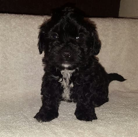 jackapoo puppies for sale for sale jackapoo puppies 1 boys 8 week mexborough south pets4homes