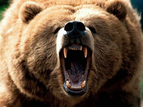 imagenes de leones y osos oso rugiendo im 225 genes y fotos