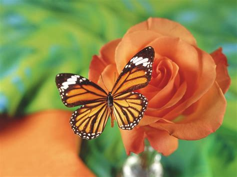 butterflies flowers butterfly and flower wallpaper