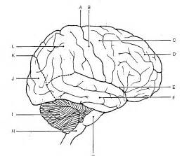 what color is the brain brain anatomy coloring pages az coloring pages