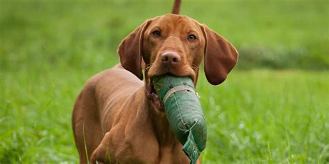 Vizsla Shedding by Vizsla Www Imgkid The Image Kid Has It