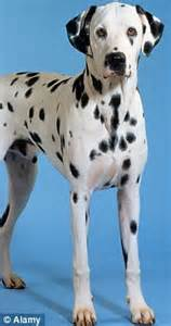 Tha 101 Black spot the difference one of these dalmatians will be