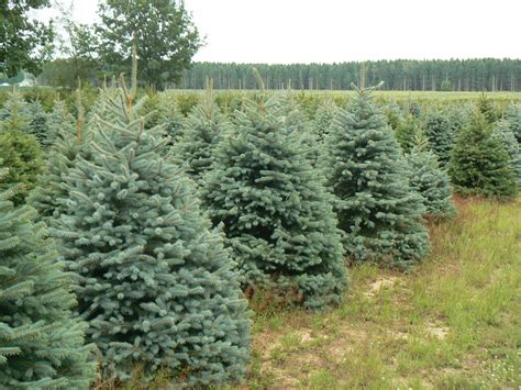 100 information about christmas trees christmas