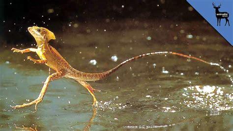 Is Walk On can the jesus lizard really walk on water