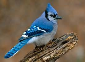 blue jay, life history, all about birds cornell lab of