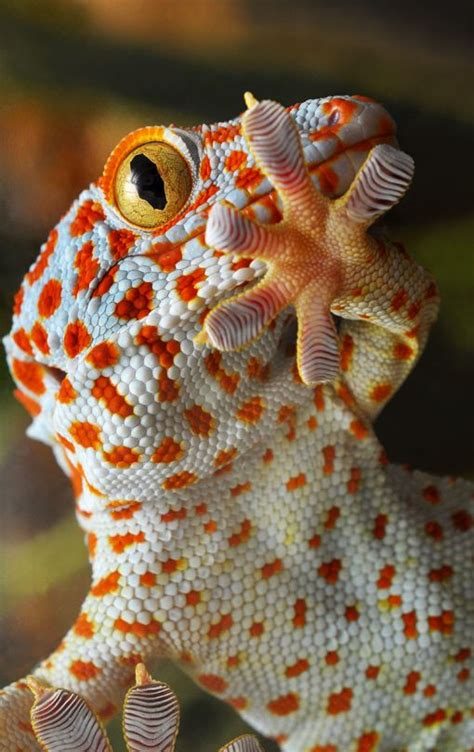 do geckos change color 25 best ideas about lizards on iguanas where