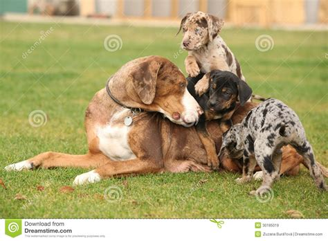free puppies in louisiana louisiana catahoula with puppies royalty free stock images image 30185019
