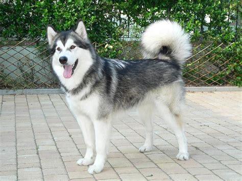 alimentazione alaskan malamute alaskan malamute carattere cani taglia grande