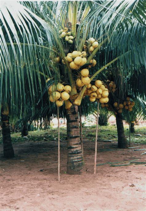gambar pohon kelapa apick aw0x z