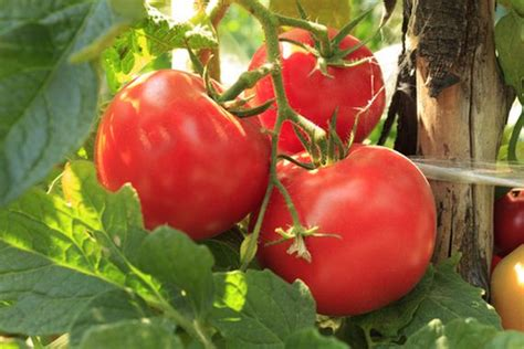 are tomatoes ok for dogs 10 fruits vegetables that are toxic to dogs ilovedogsandpuppies