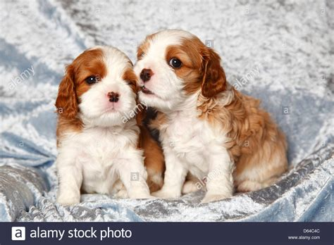 free king charles cavalier puppies cavalier king charles spaniel puppies blenheim 4 1 2 weeks stock photo royalty