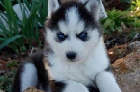 husky puppy adoption pomeranian puppies for adoption tasmania tas pets for