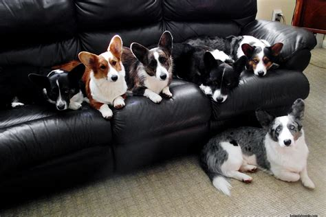 cardigan corgi puppies cardigan corgi puppies rescue pictures information temperament