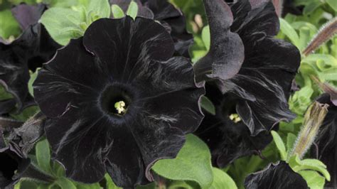 black flower world s first black flower created channel 4 news