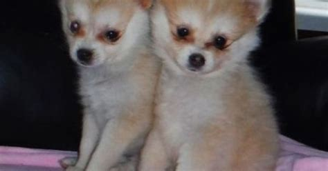 pomsky puppies for sale florida pomsky puppies sized huskies 10 lbs grown for sale in orlando florida