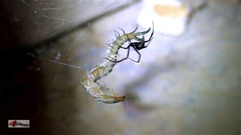 black widow spider  tiger centipede youtube
