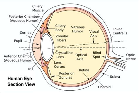 schematic section of the human eye file eyesection svg wikimedia commons