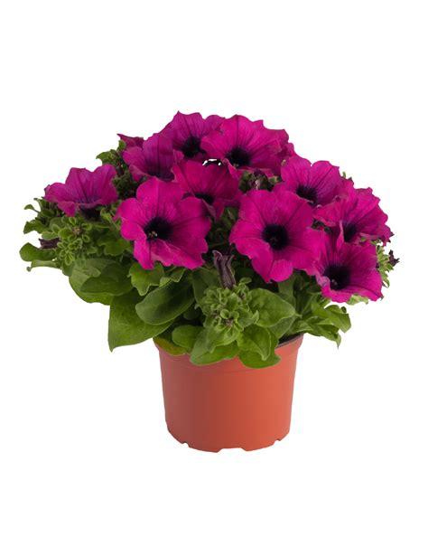 petunia colors surfinia 174 purple the no 1 petunia brand colors your city