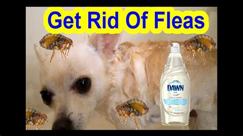 how to get rid of dog lice in the house how to get rid of fleas dog cat fast easy simple using dawn ultra youtube