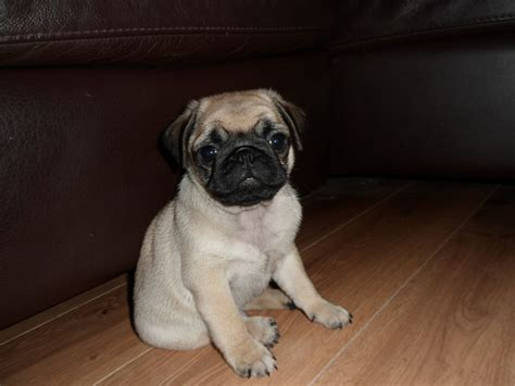 pugs for sale in swansea pug puppy for sale swansea swansea pets4homes