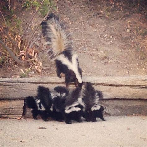 deskunking a 78 best images about skunks on