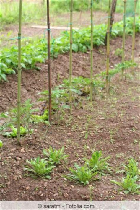 Rucola Garten Pflanzen by Salatrauke Rukola Anbauen Und Ernten