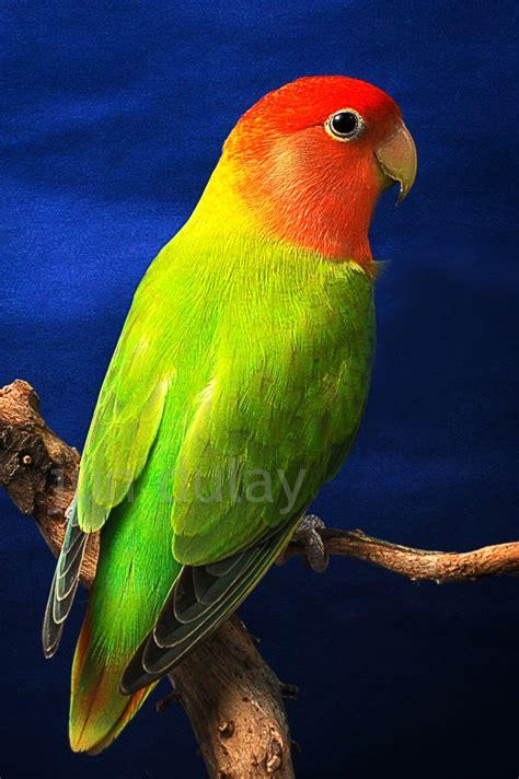 Lovebird Lutino Opaline opalines philippine lovebirds