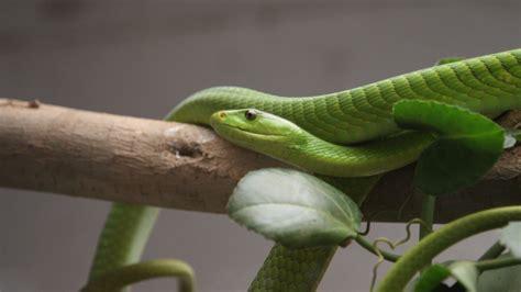 wallpaper green mamba snake leaves  orlean la usa