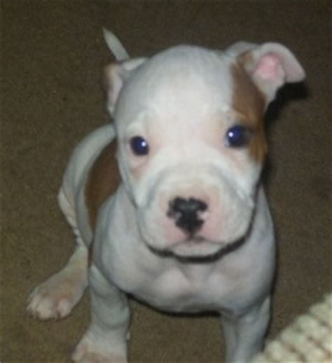 6 week pitbull puppy american pitbull terrier breed pictures 6