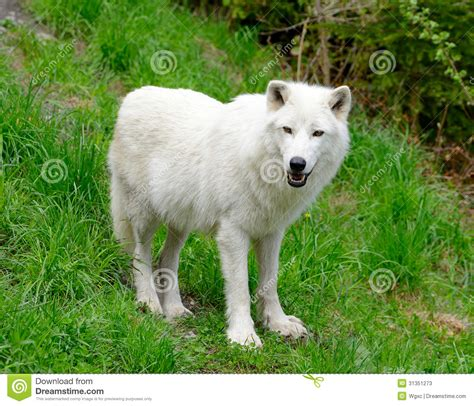 polar wolf stock photos image 31351273