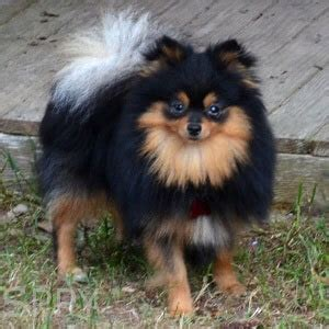 brown and black pomeranian pomeranian breed 187 information pictures more