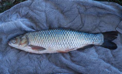 asian carp control efforts wisconsin dnr