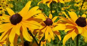 Christmas Decor Trends Maryland State Flower Black Eyed Susan Proflowers Blog