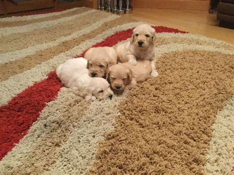 goldendoodle puppy for sale uk stunning goldendoodle puppies for sale ebbw vale
