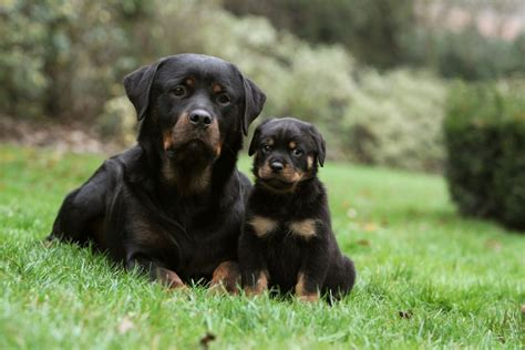 another name for rottweiler image gallery rottweiler welpen
