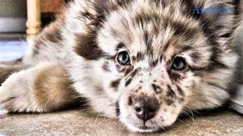 australian shepherd pomeranian this adorable is a pomeranian australian shepherd mix and he s so fluffy