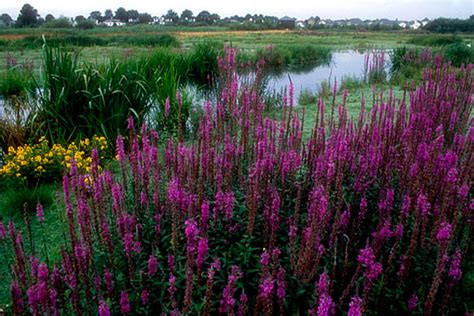 the wetlands garden natural landscaping gardening and