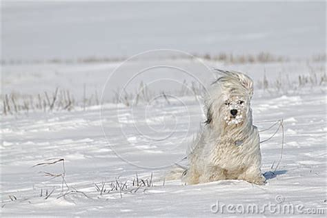 havanese blowing coat cold winds royalty free stock photos image 35044568