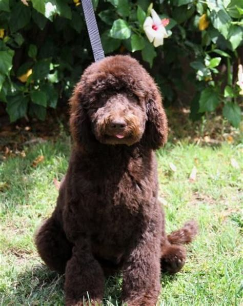 labradoodle puppies california 17 best ideas about labradoodle puppies for sale on labradoodle breeders