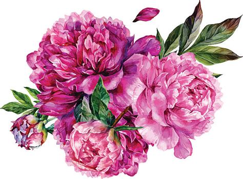 peony clipart royalty free peony clip vector images illustrations