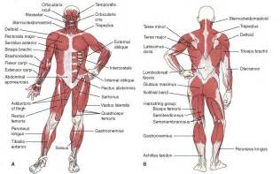back muscle diagram lower muscles of the and hip anatomy