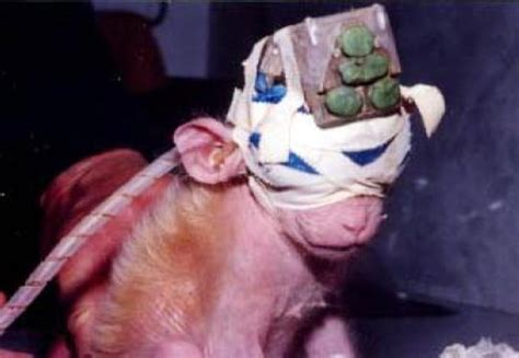 vivi section shevi animal liberation israel vivisection pictures