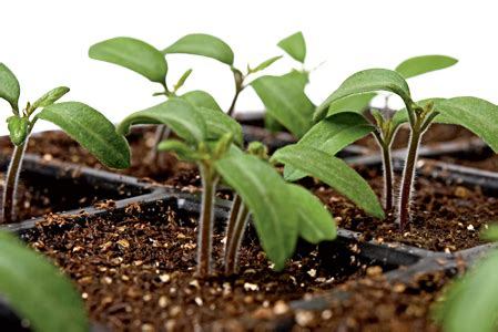 what tomato seedlings need to grow; how to grow tomatoes