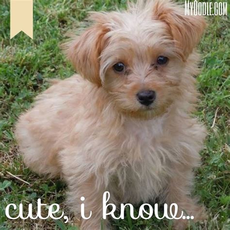 dogs and puppies for sale and adoption oodle marketplace oodle puppies 28 images 1000 images about oodle spoodle cockerpoo cockapoo on