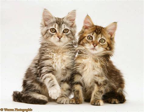 Hair Dryer Bulu Kucing si comel kucing anda lebih bersih dan sihat dengan forever