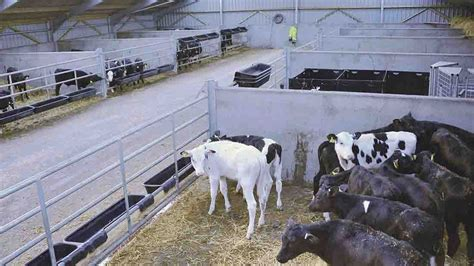 Calf Rearing Shed Design by Lancashire Farm Tackling Cross Suckling In Calves Insights Fg Insight