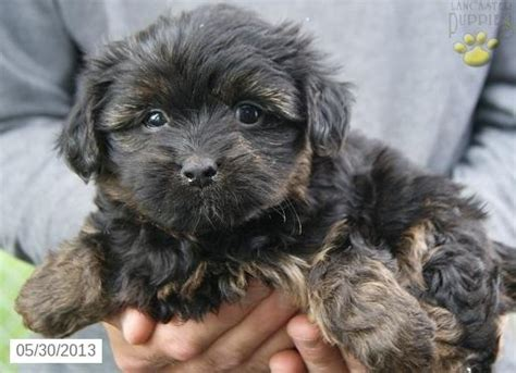 puppies for sale in frederick md kenzie morkie puppy for sale in frederick md morkie puppy for sale i