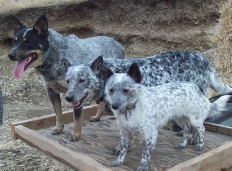 queensland heeler puppies craigslist mini heelers in oregon breeds picture