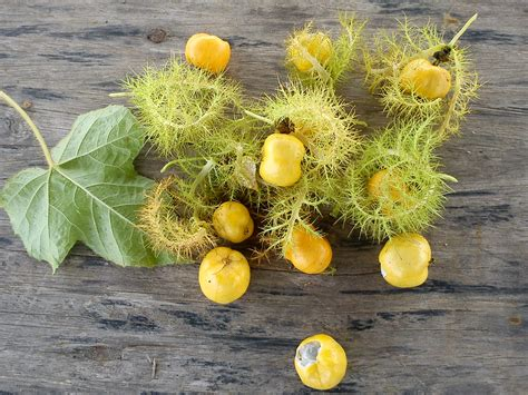Tanaman Buah Gayam 15 manfaat dan khasiat buah rambusa untuk kesehatan khasiat