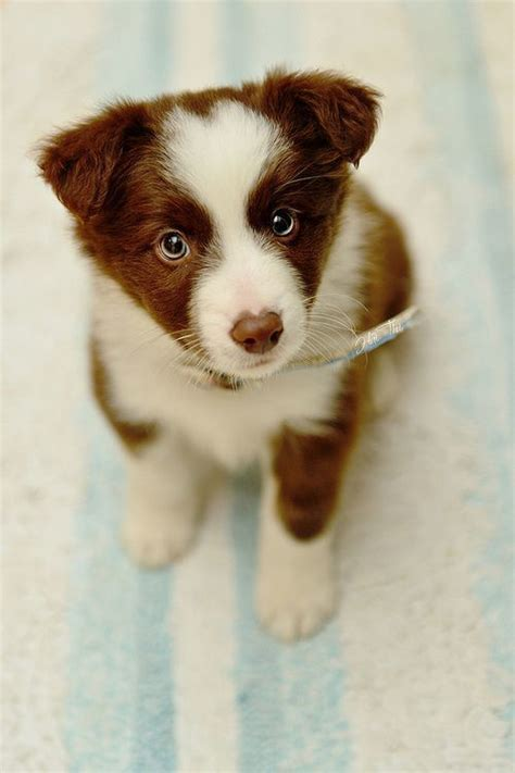 brown and white puppy brown and white border collie puppy with blue probably about 2 or 3 months